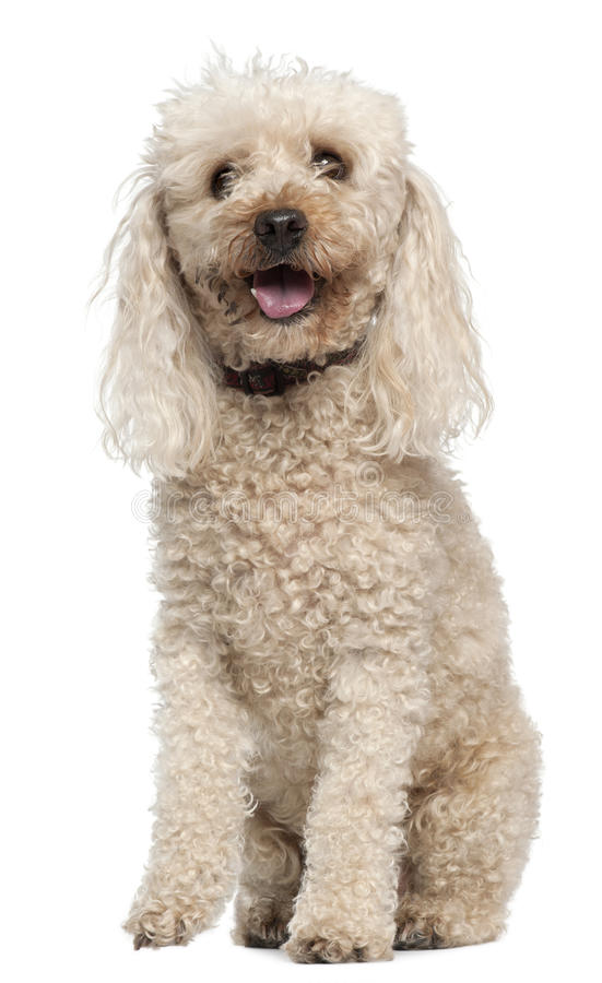 Poodle, 13 Years Old, Sitting In Front Of White Royalty Free Stock Photos