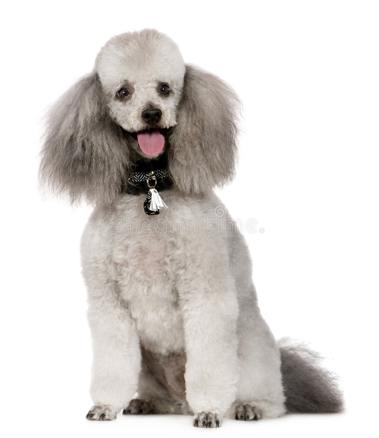 Free Poodle (2 Years) Royalty Free Stock Photography - 5666117
