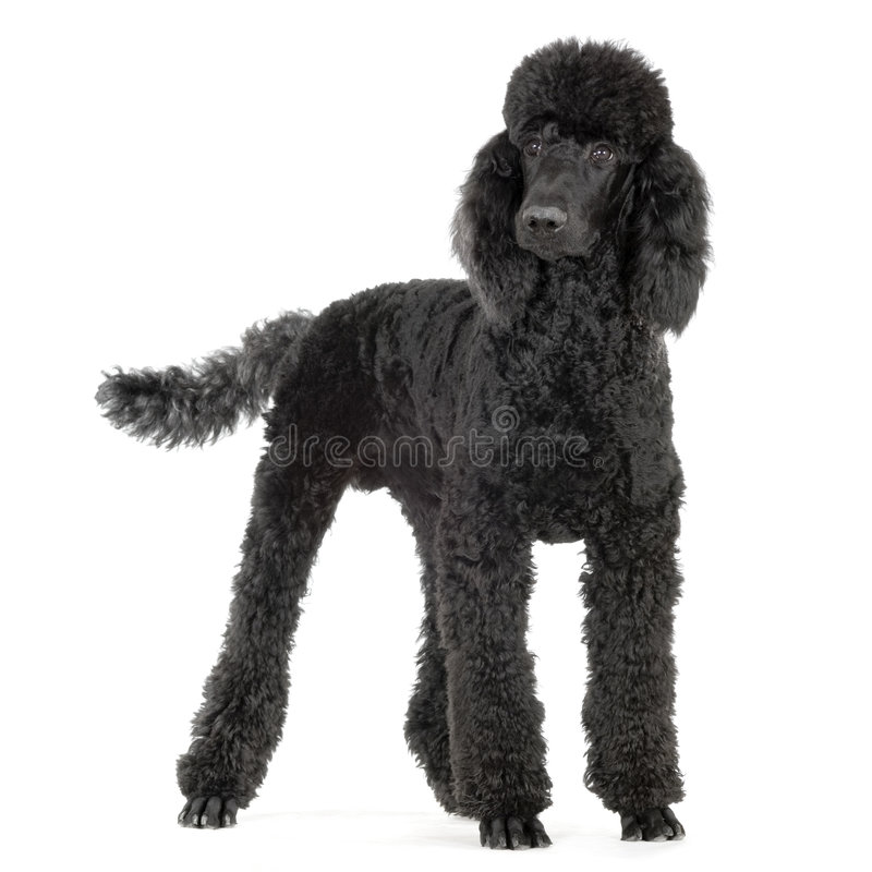 Poodle. In front of white background stock photos