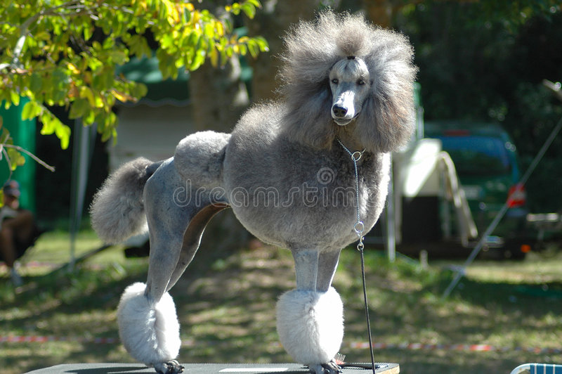 Poodle. A beautiful silver grey Standard Poodle with cute expression in the face standing on a picnic table waiting for the owner and watching other dogs in the