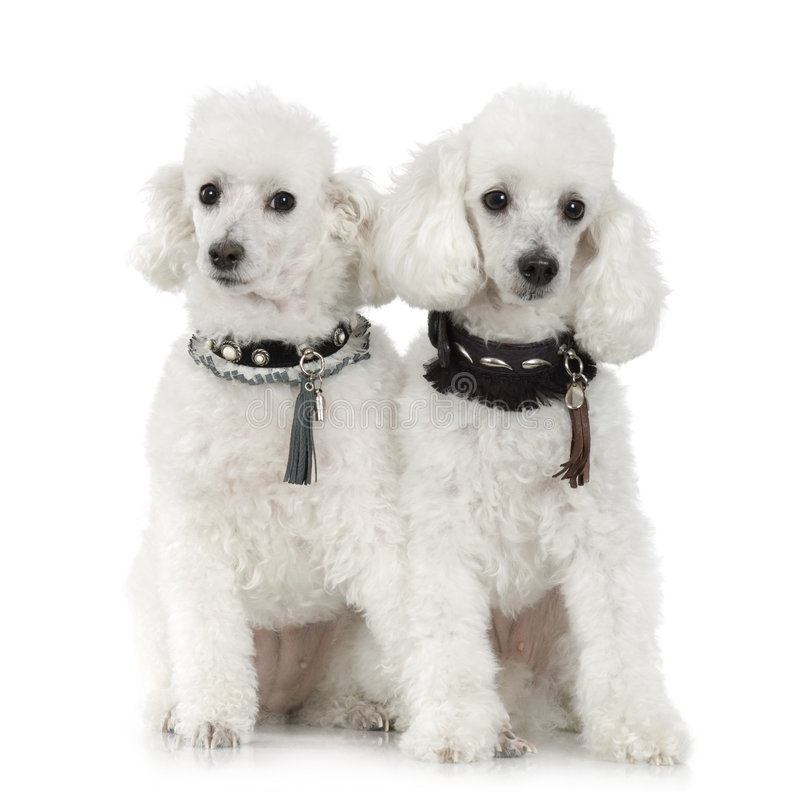 Poodle. Wearing collar and sunglasses in front of a white background stock image