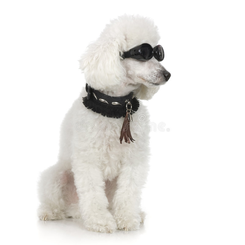 Poodle. Wearing collar and sunglasses in front of a white background royalty free stock image