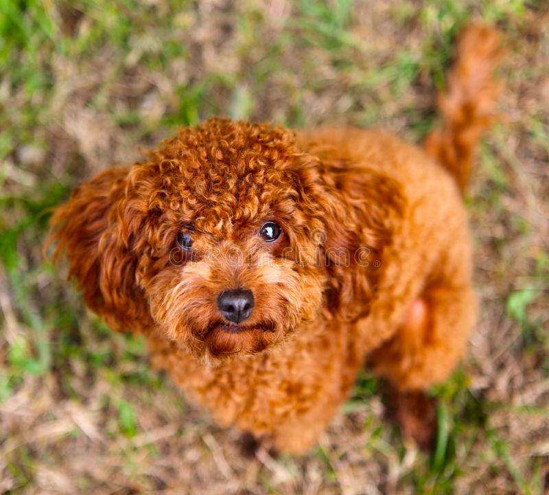 Download Poodle Stock Images - Image: 27685544