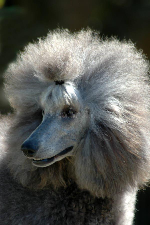 Poodle stock photos