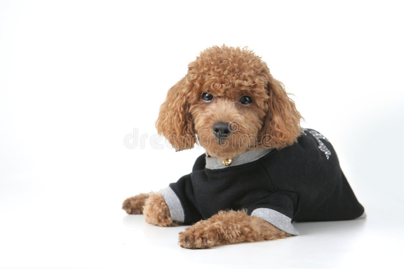 Poodle. Small brown toy poodle with a black shirt and grey collar lying down royalty free stock image