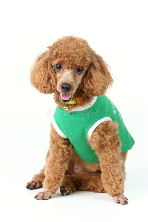 Poodle stock photo