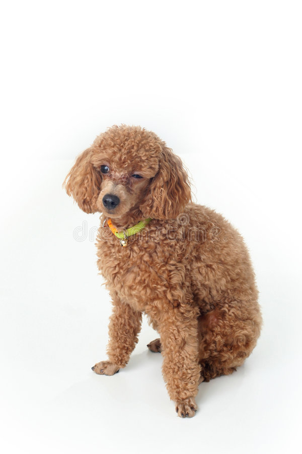 Poodle royalty free stock photo