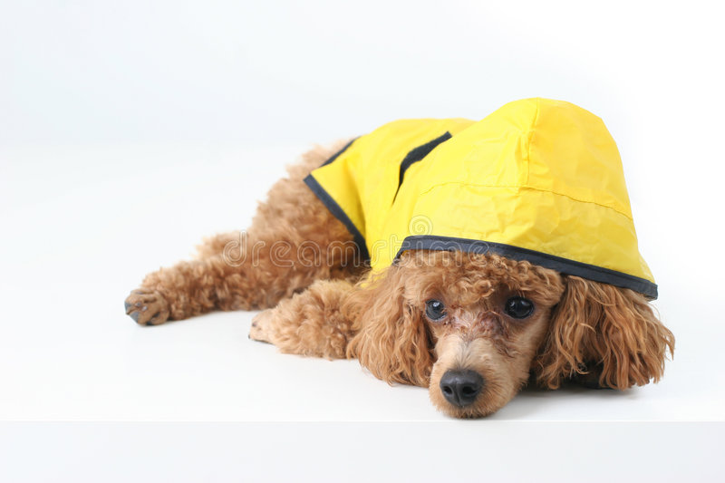 Poodle. Brown toy poodle in classic grooming wearing yellow rain coat stock photography