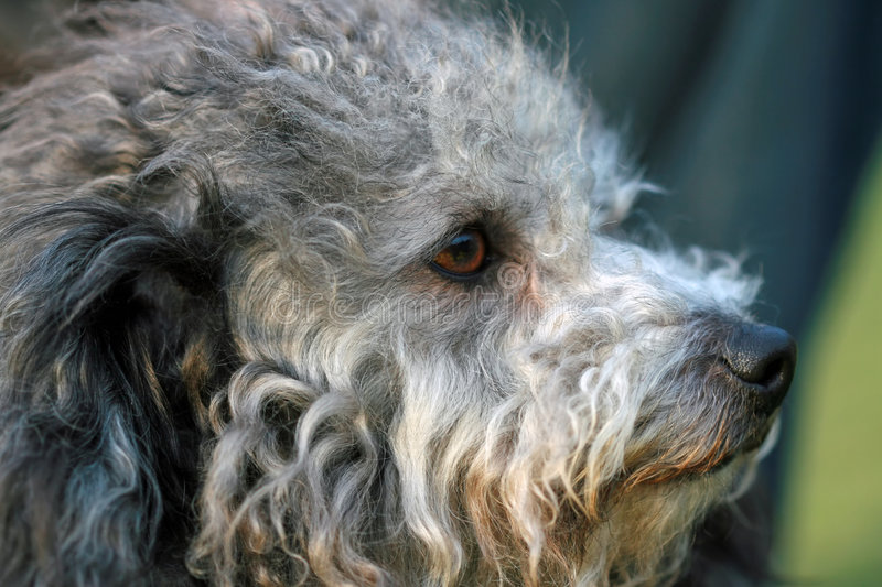 Download Poodle stock image. Image of canine, poodles, companion - 4987497