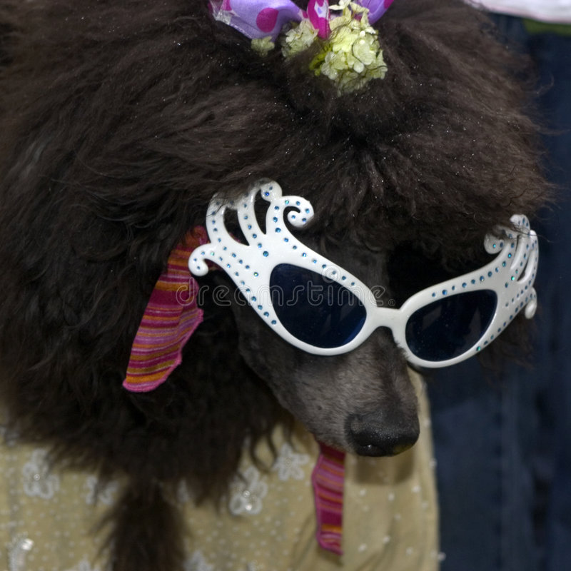 Free Poodle Royalty Free Stock Image - 91256