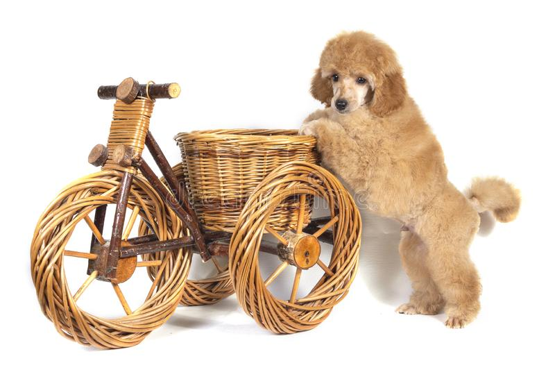 Poodle apricot puppy stands with its front paws on a wooden toy bike and looks into the camera. Isolated stock photo