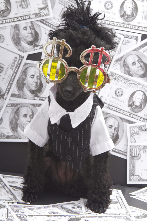 Poodle Bathing In Cash. A poodle in chrome sunglasses with dollar signs and surrounded by money stock photos