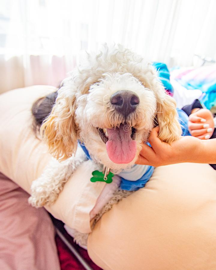 White dog poodle in bed. Poodle in bed having a pajama party stock photos