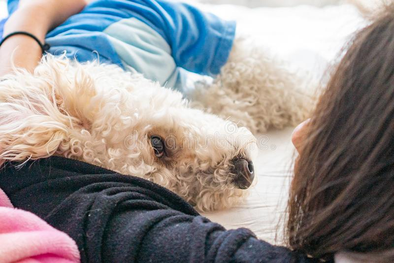 White dog poodle in bed. Poodle in bed having a pajama party royalty free stock photos
