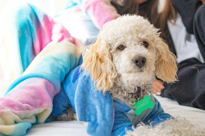 White dog poodle in bed. Poodle in bed having a pajama party royalty free stock image