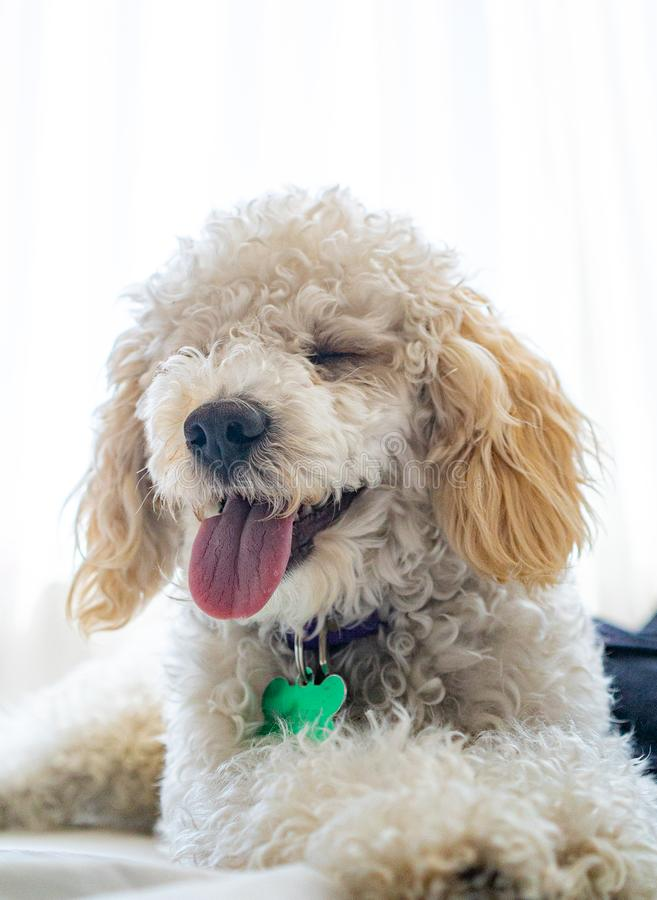 White dog poodle in bed. Poodle in bed having a pajama party stock photo