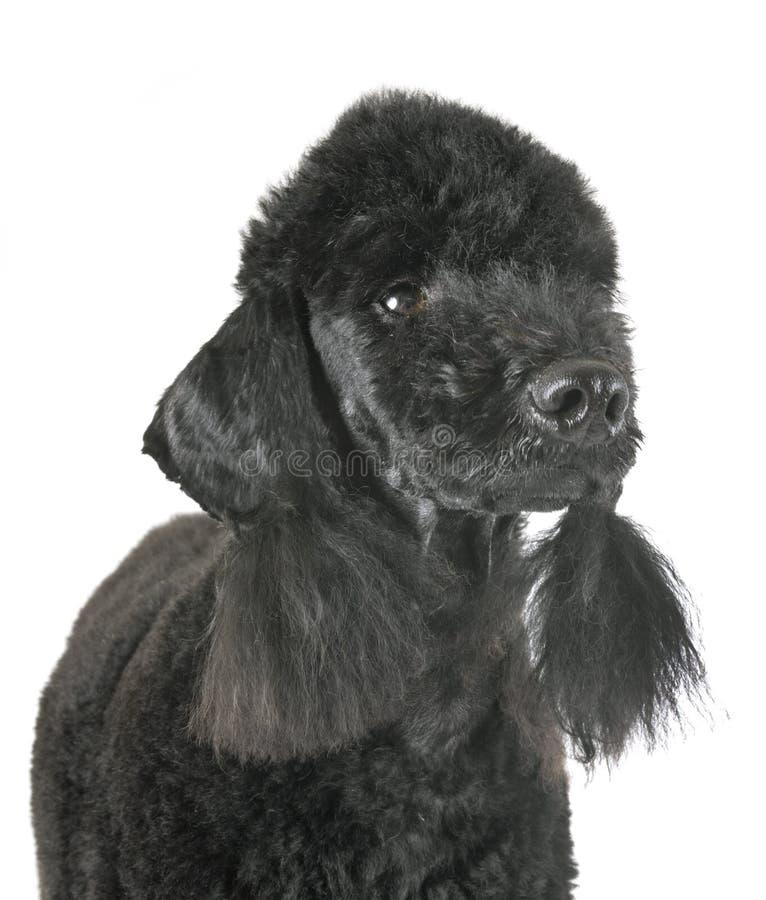 Poodle Bedlington στο στούντιο στοκ εικόνα με δικαίωμα ελεύθερης χρήσης