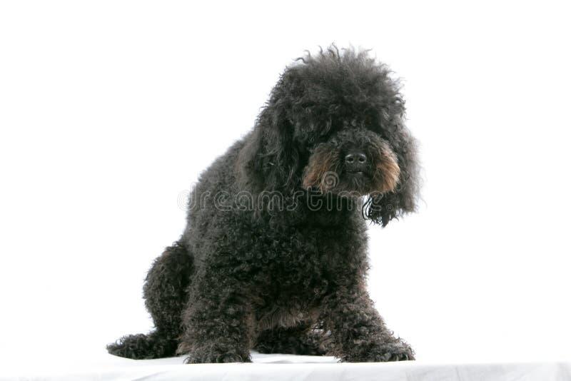 Poodle. Black poodle profile on white background royalty free stock photo