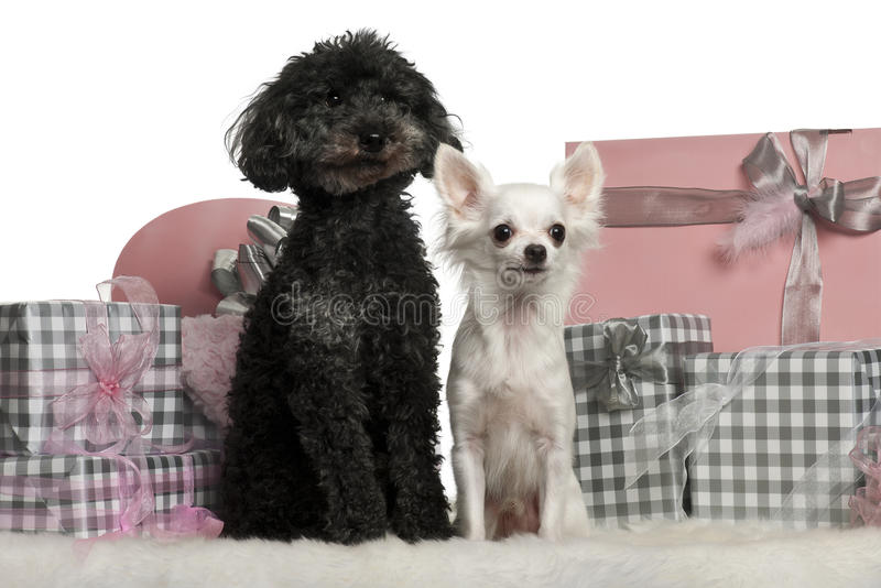 Download Poodle And A Chihuahua Sitting With Christmas Stock Photo - Image of cutout, camera: 22629558