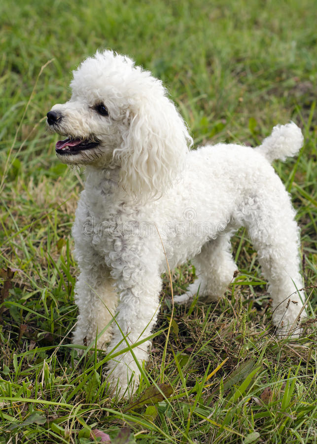 Poodle dog. White poodle dog standing on grass lawn stock photos