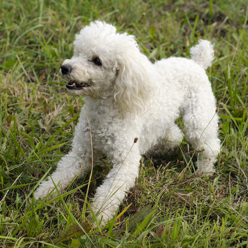 Poodle dog. White poodle dog playing on grass lawn or a meadow stock image