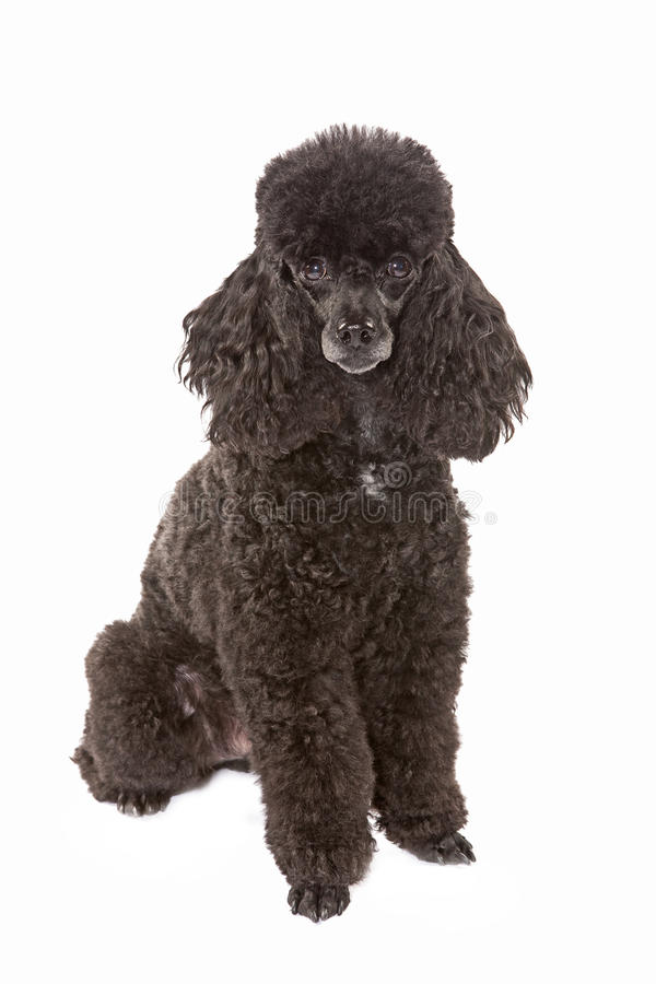 Poodle dog. Black poodle dog sitting on whit background royalty free stock image