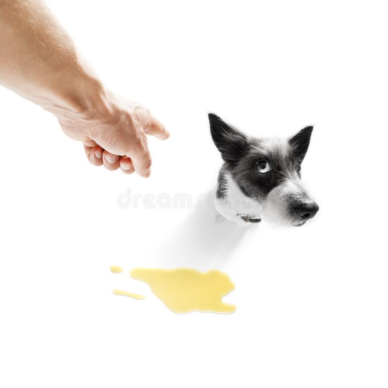 Dog pee owner at home. Poodle dog being punished for urinate or pee at home by his owner, on white background royalty free stock image