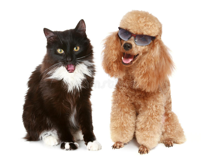 Download Poodle Dog And Black Cat On A White Background Stock Photo - Image: 14269914