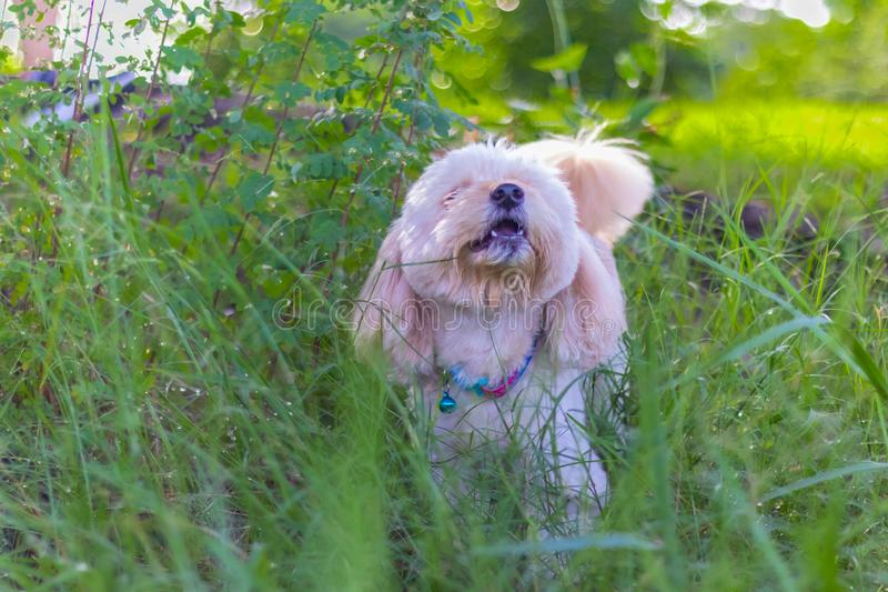 Poodle dog eats grass seed. Dogs are eating grass in the garden, Cute white poodle dog on green park background stock photography