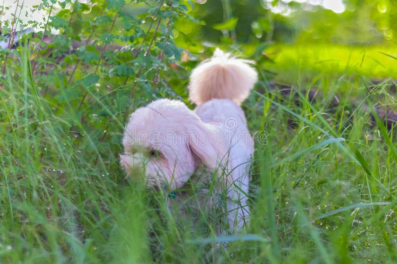 Poodle dog eats grass seed, Dogs are eating grass in the garden. Cute white poodle dog on green park background royalty free stock photography