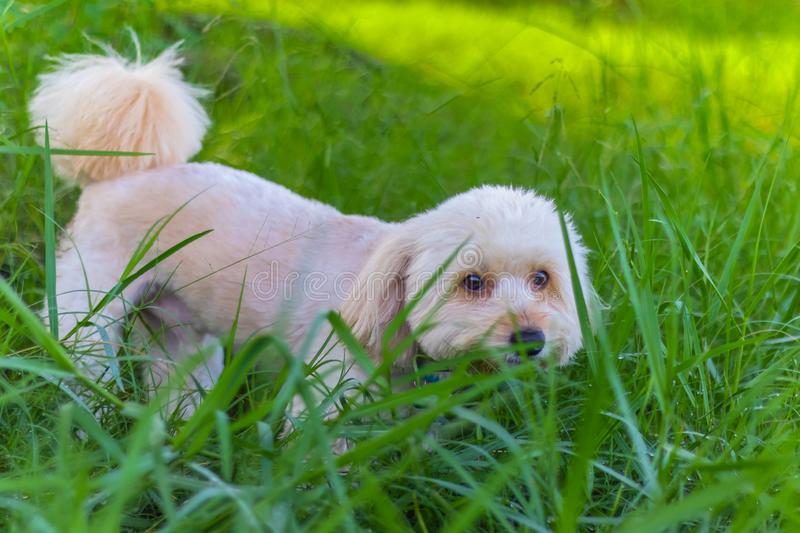 Poodle dog eats grass seed, Dogs are eating grass in the garden. Cute white poodle dog on green park background royalty free stock image
