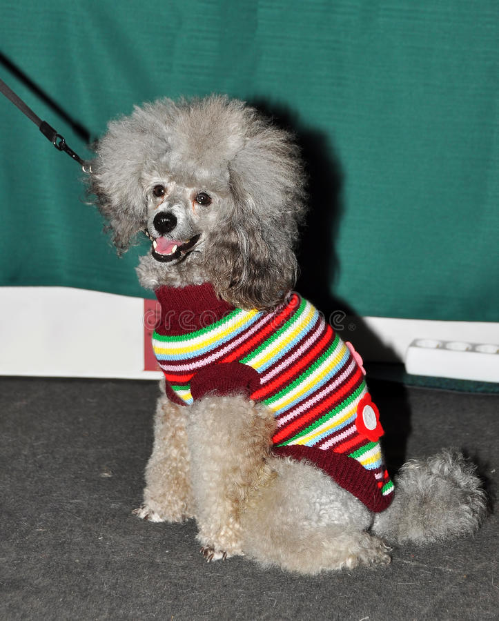 Poodle dog gray royalty free stock image