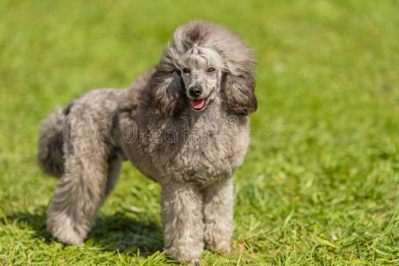 Poodle dog in the green park. Dog portrait royalty free stock image