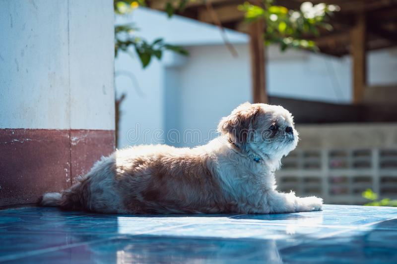 Poodle Dog  on the house. With sunlight in the morning royalty free stock image