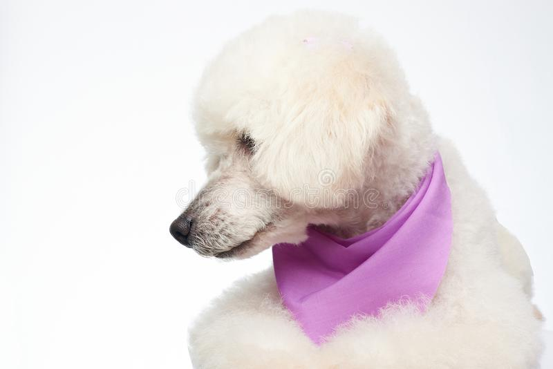 Poodle dog look on side. On white background royalty free stock photos