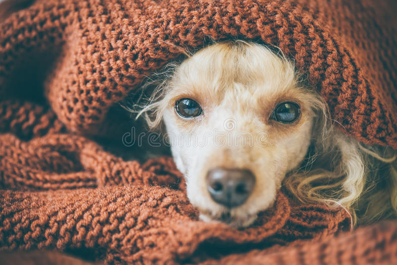 Poodle dog is lying and slepping under the blanket in bed . Poodle dog is lying and slepping under the blanket in bed, having a siesta stock images