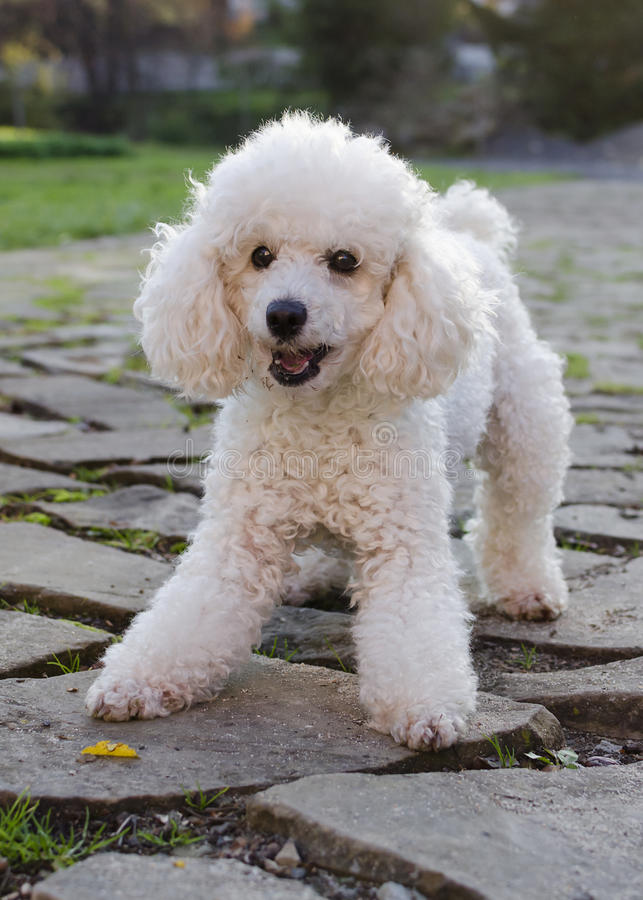 Poodle dog. Playful poodle dog ona paved path in a garden stock image