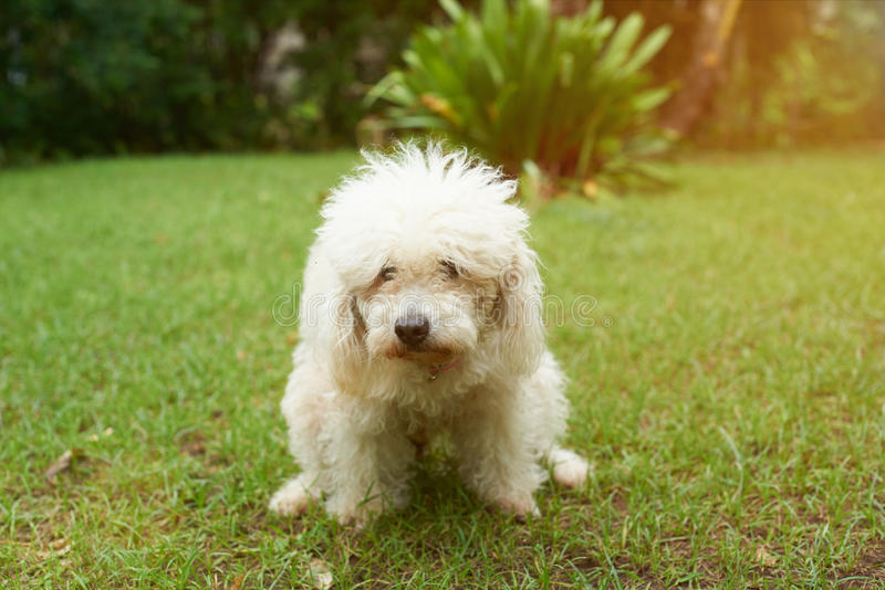 Poodle dog pooping. On green grass in park. Dog making poo in park royalty free stock photo