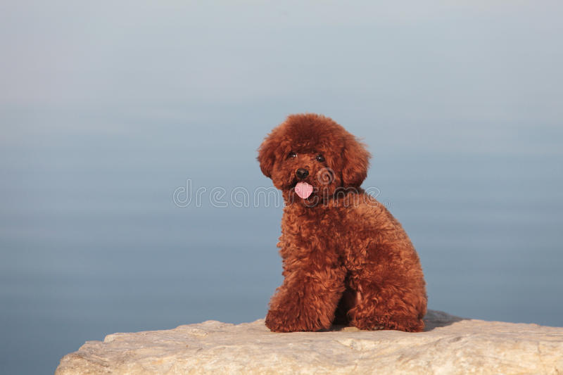 Poodle dog. The purebred poodle dog portrait in outdoors royalty free stock image