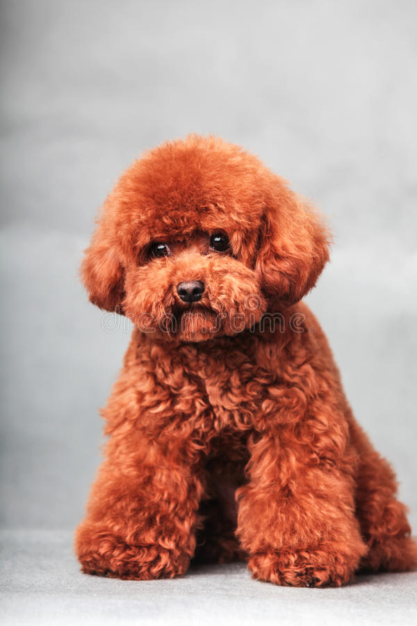 Poodle dog. The Purebred poodle dog in studio stock photo