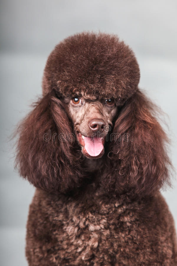 Poodle dog. The Purebred poodle dog in studio royalty free stock photo