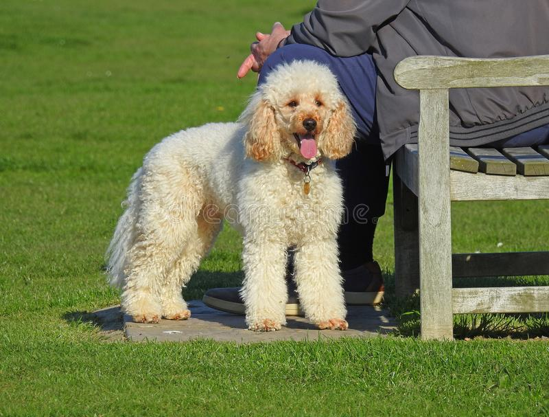 Poodle dog resting in park. Photo of a white haired poodle dog resting his tired paws after a walk in the park april 2018 stock photo