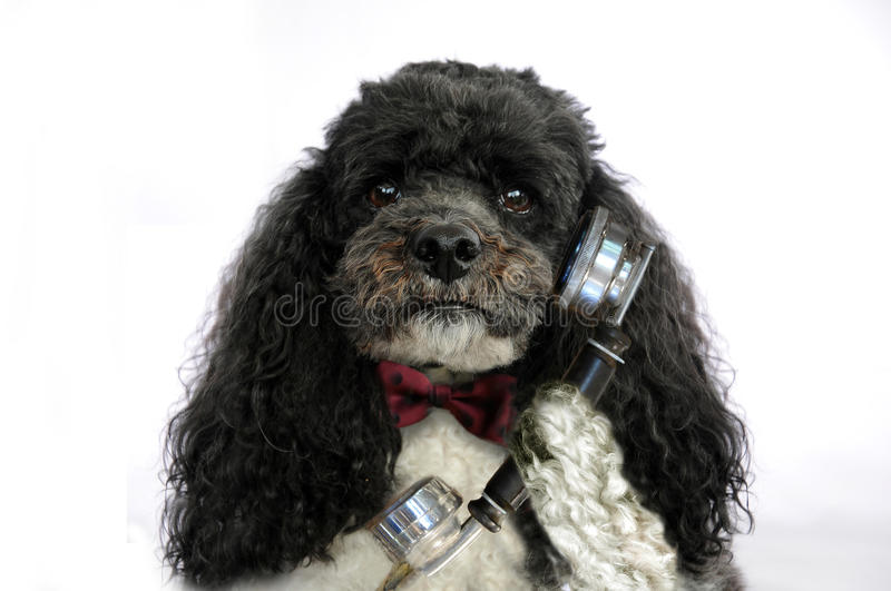 Poodle dog with retro phone. Elegant poodle with bow tie and retro phone listens concentrated a message stock photos