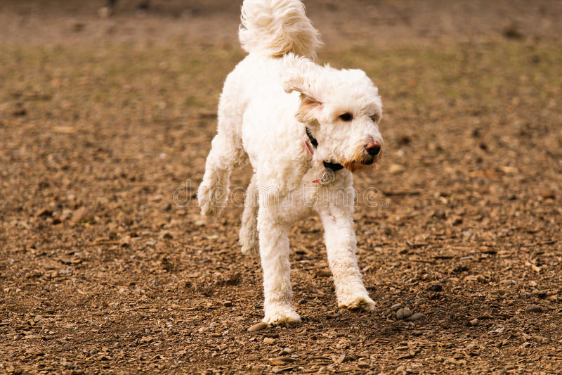 Poodle dog royalty free stock images