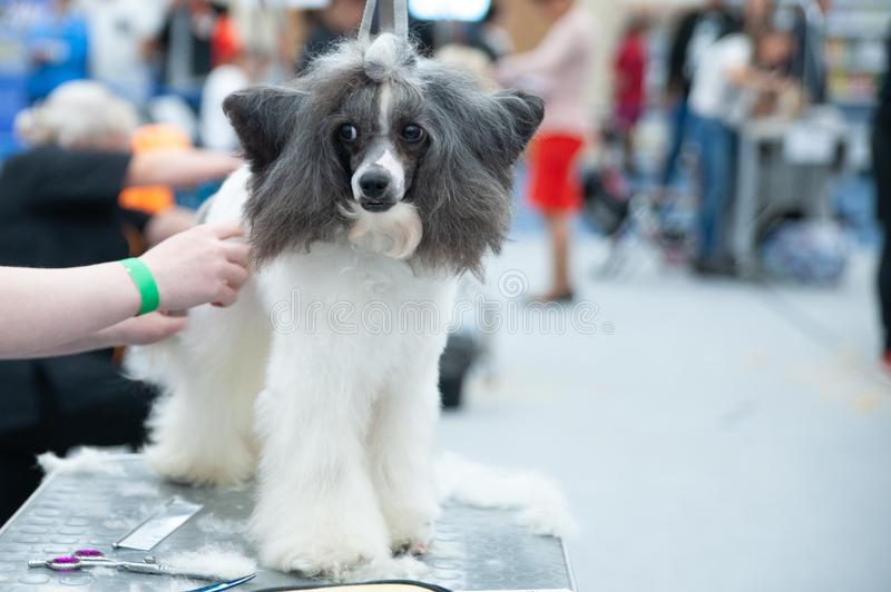 Poodle Sitting On The Table Stock Photo Image Of Funny