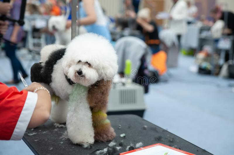 Poodle at the Dog Show, grooming. On the table royalty free stock photo