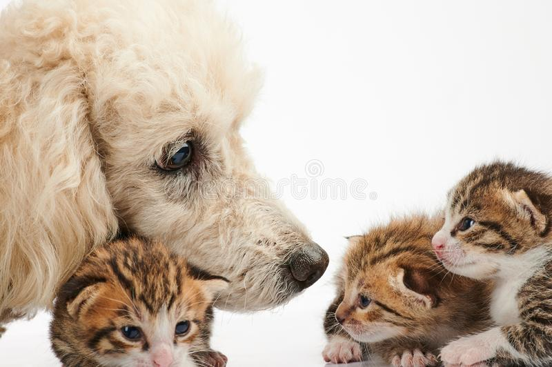 Poodle dog take care of small kitty stock images