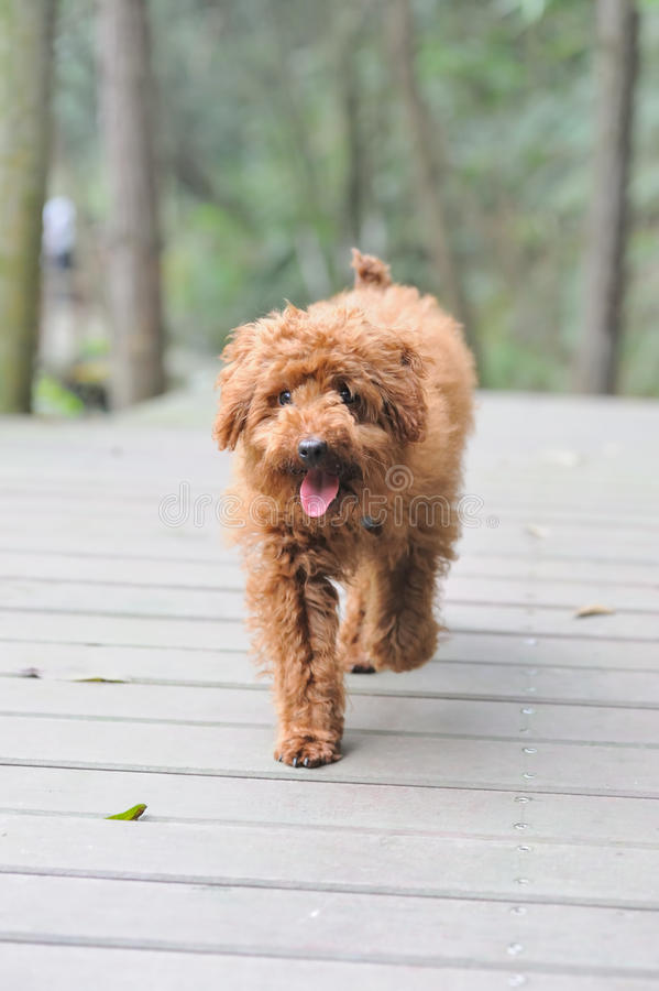Poodle dog walking. Brown poodle dog walking on the wooden road stock photo