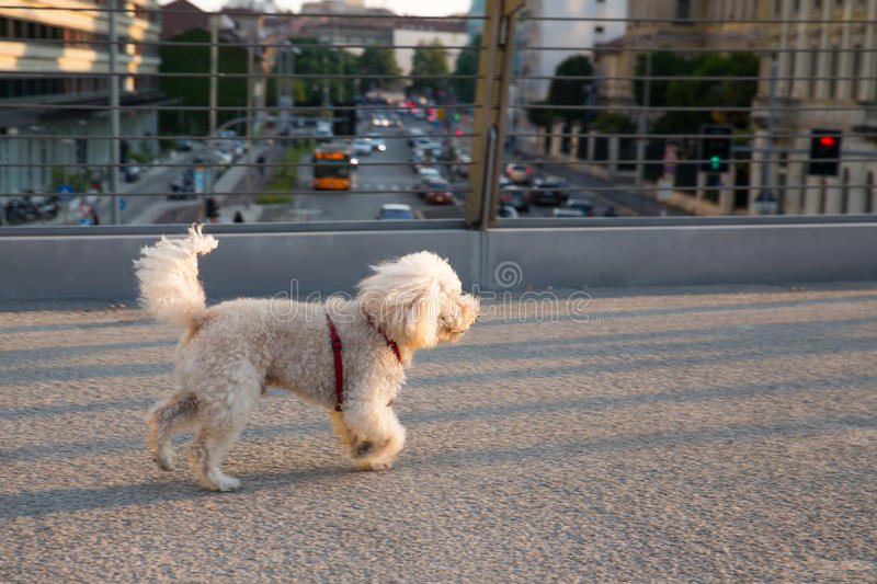 poodle dog walking over Melchiorre Gioia road Milan - bridge royalty free stock photography