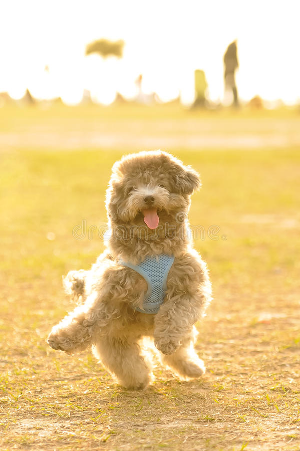 Download Poodle Doing Happy Dance stock image. Image of staring - 23553469